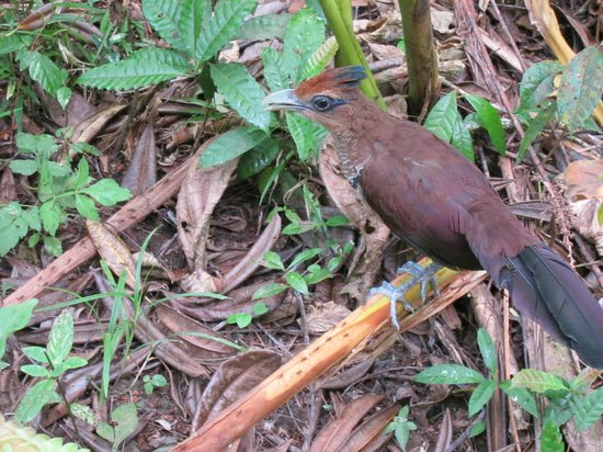 Panama Great Adventures - Day Tours: Rufous Vented Ground Cuckoo