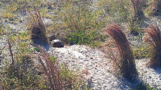 Smyrna Dunes Park : A tortoise heading to his home.