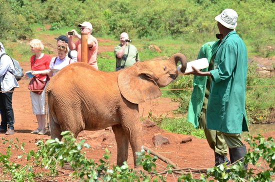 David Sheldrick Wildlife Trust: Feeding time