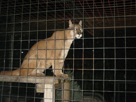 Catty Shack Ranch Wildlife Sanctuary: Curious Cougar