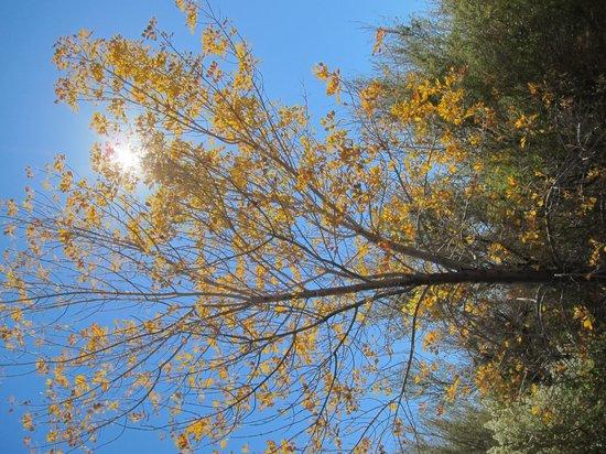 Ash Meadows National Wildlife Refuge : Ash tree