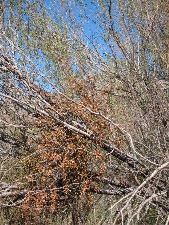 Ash Meadows National Wildlife Refuge: Tree
