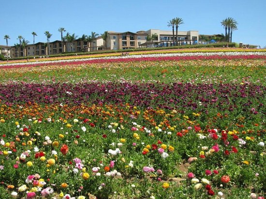 Carlsbad Flower Fields: This is what we missed..the flower fields in full bloom :-(
