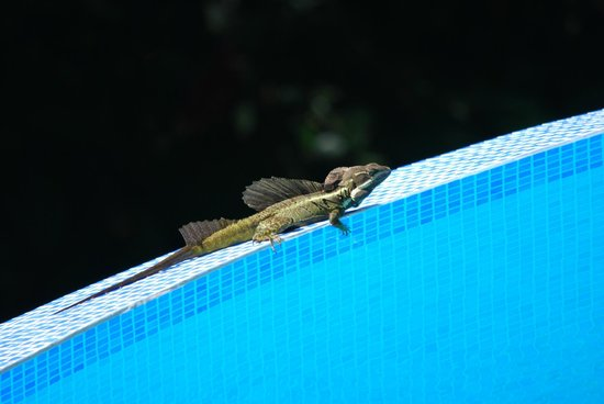 Villa Kristina Apartments: Jesus Christ lizard enjoying the pool