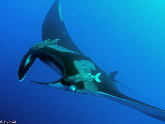 Socorro Island: Manta Ray at Roca Partida