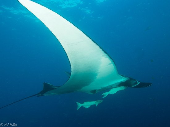 Socorro Island: Manta Ray at the Boiler Dive Site