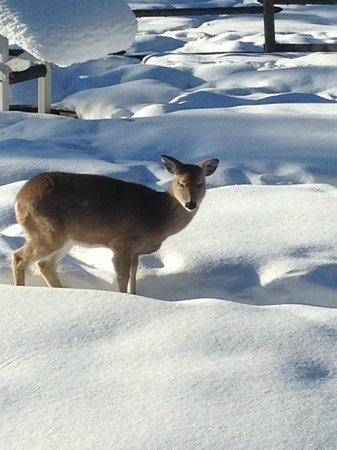 Kicking Horse Canyon B&B: White tailed breakfast visitor