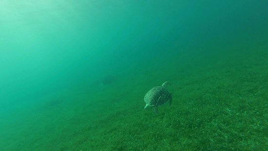 Half Moon Resort: Sea turtle in Half Moon Bay