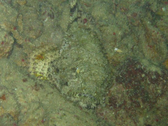 Half Moon Resort: Scorpion fish under the pier
