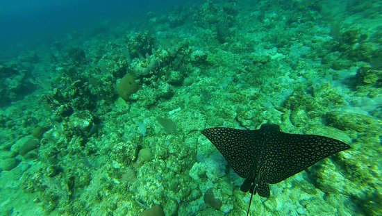 Half Moon Resort: Spotted ray in the bay