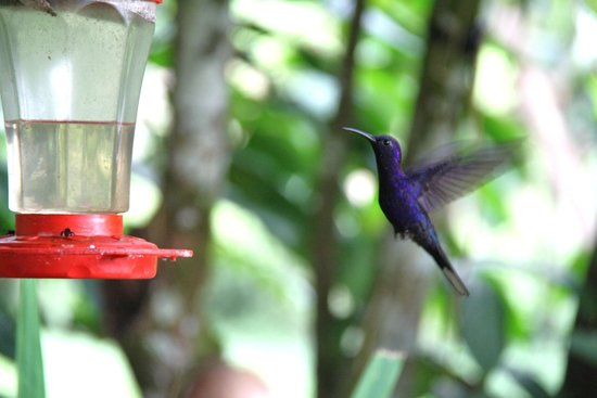 Mountain Equestrian Trails : Violet Sabrewing