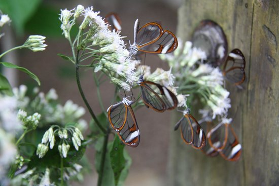 Mountain Equestrian Trails: Glasswinged butterfly