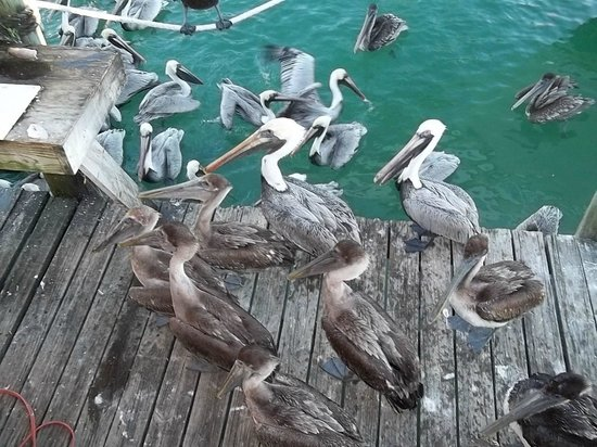 Marathon lady party boat fishing: Hungry pelicans waiting for dinner
