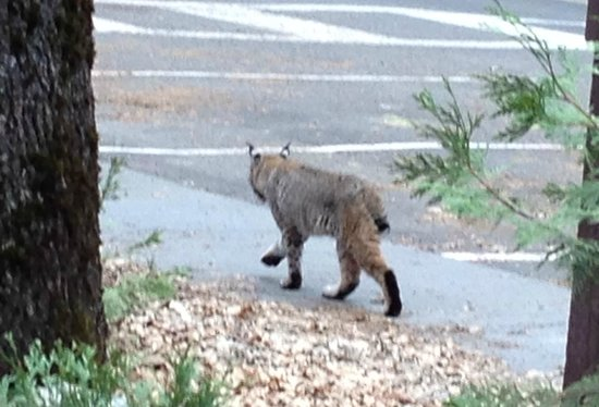 Yosemite Valley Lodge: Bobcat (Lynx rufus) near our room
