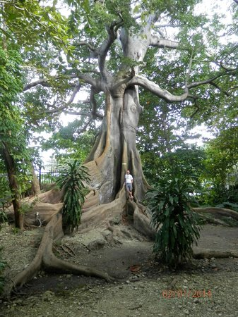 Rainforest Bobsled Jamaica at Mystic Mountain: This tree is unbelievable