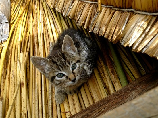 Puno, Perú: Kittens