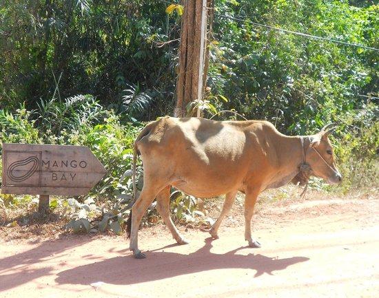 Mango Bay Resort : lucky cow