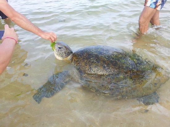Hikka Tranz by Cinnamon: кормление черепахи