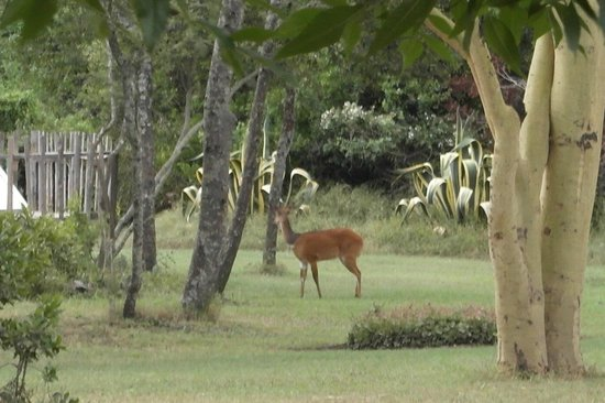 Sweetwaters Serena Camp: A random Impala in the hotel grounds
