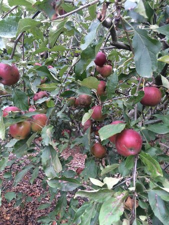 Alowyn Gardens: The apples are fresh and delicious!