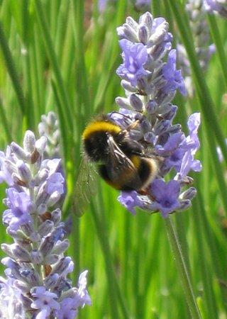 Valentines Park: The beautiful lavender garden