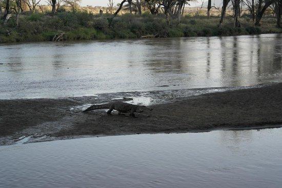 Samburu Game Lodge: Crocodile coming up for the feeding