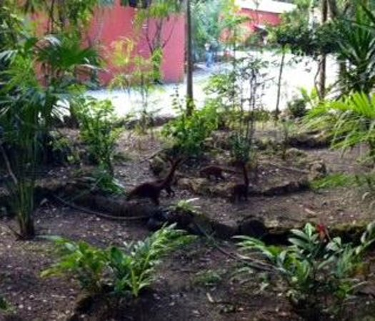 Jungle Lodge: early evening visit from a family of coati's