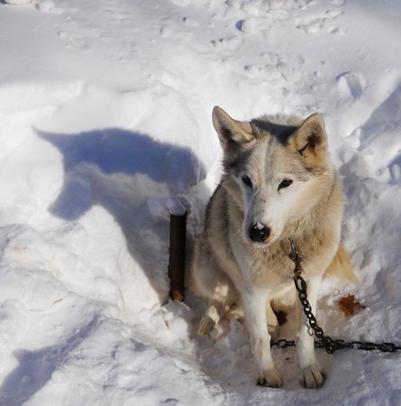 Wolfsong Adventures in Mushing: One of the pups