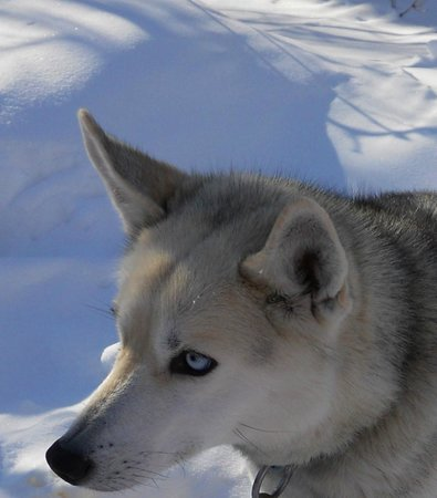 Wolfsong Adventures in Mushing: Up close