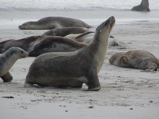 Kingscote, Australia: Seal Bay
