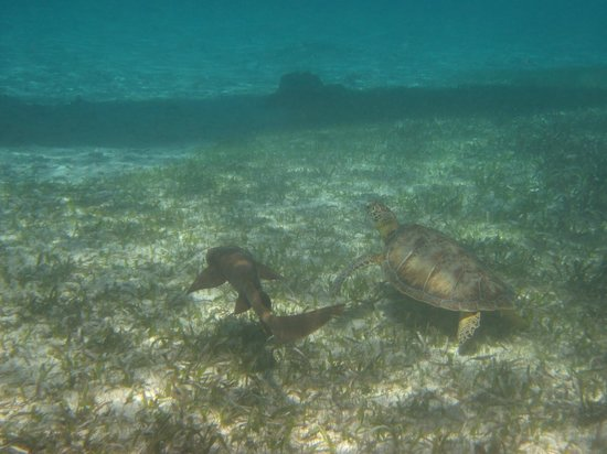 Grumpy & Happy: Nurse Shark and Turtle swimming next to each other