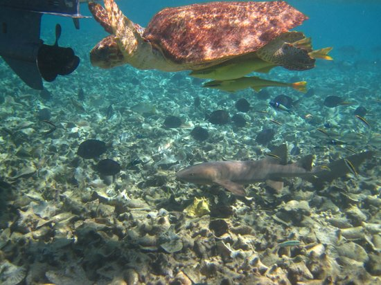Grumpy & Happy Belize  Snorkeling Tours: Giant Sea Turtle near Conch Fishermand