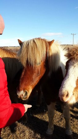 Iceland Horizon: feeding Icelandic horses