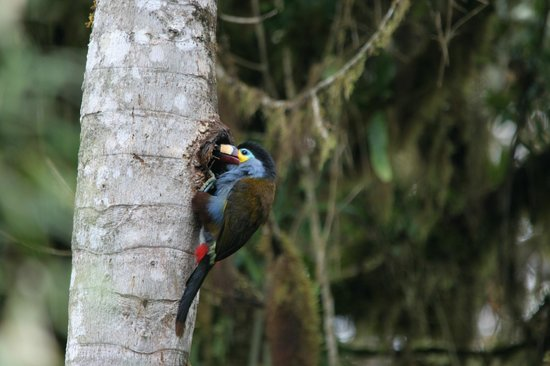 San Jorge Eco-Lodge & Botanical Reserve: Plate Billed Mountain Toucan (at nest) near Tandayapa