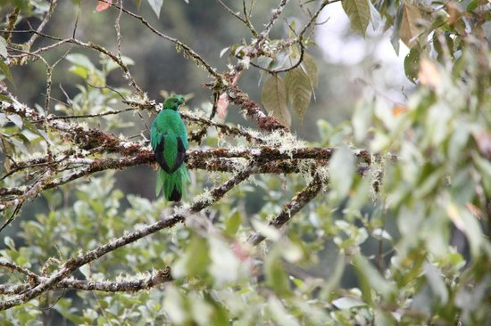 San Jorge Eco-Lodge & Botanical Reserve: Crested Quetzal near Cosanga