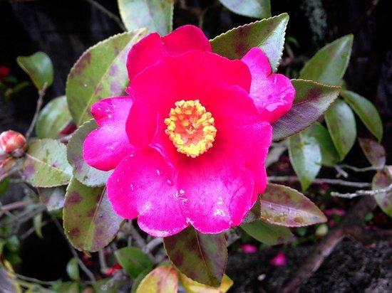 Tamatsukuri Onsen: 冬の椿がきれいに咲いていました。