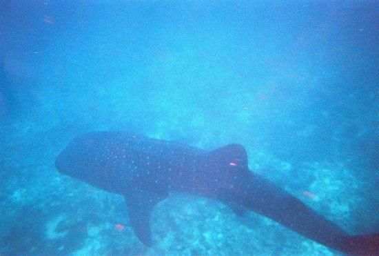 Maafushivaru: Whale shark