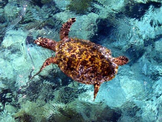Maafushivaru: Sea turtle