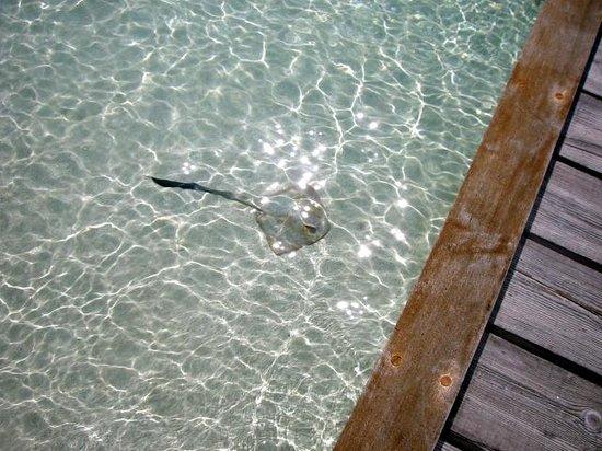 Maafushivaru: Feathertail ray in the water