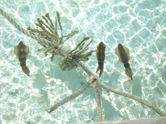 Maafushivaru: Cuttlefish
