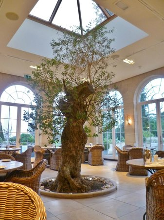 Rudding Park Hotel : Olive tree in the middle of the conservatory