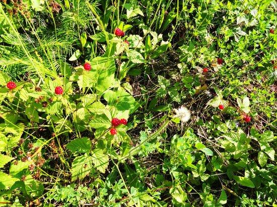 Gunflint Lodge: Wild Berry Picking!