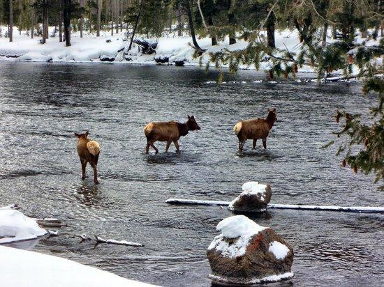 Yellowstone Lake: More wild life, elk