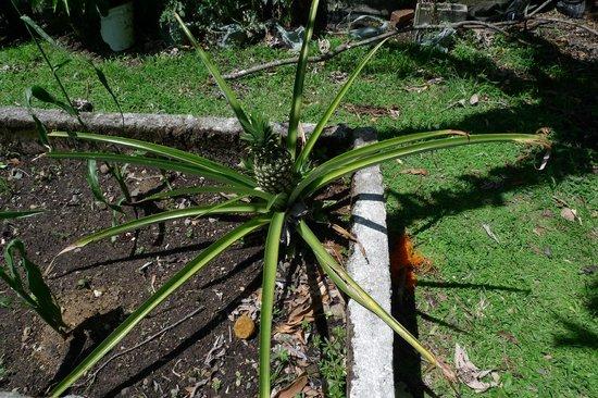 Crater Valley: Pineapple growing in the vegetable garden