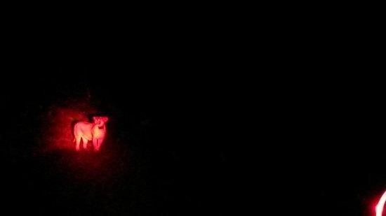 Naboisho Camp, Asilia Africa: Lion on night game drive