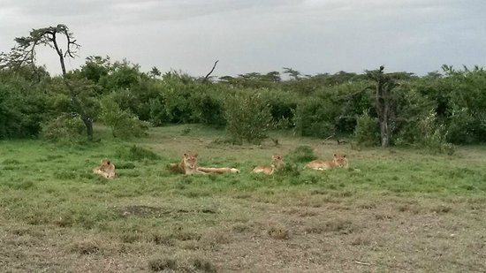 Naboisho Camp, Asilia Africa: some of the lions in the conservancy