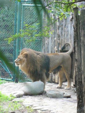 Il Ruggito Del Leone Foto Di Giardino Zoologico Di