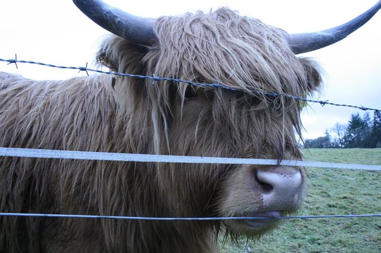 Inverness  Day Tours: highland cows