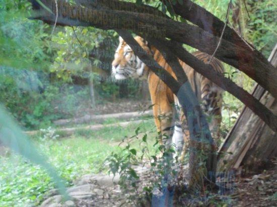 La Tigre Foto Di Giardino Zoologico Di Pistoia Pistoia
