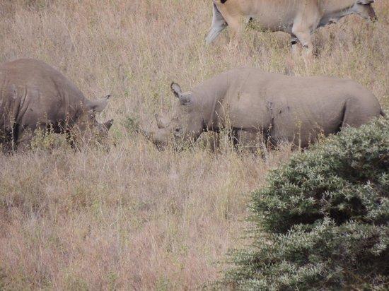 Parc national de Nairobi : Two fighting Rhino